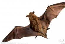 蝙蝠:最致命的传染源
