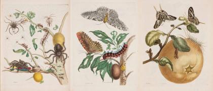 《苏里南变态昆虫图谱》配图.jpg