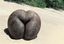 """海椰子 ——伊甸园的""""禁果"""""""