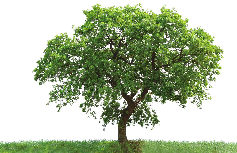 印度橡树手绘线稿