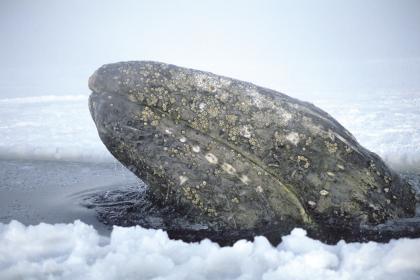 一头灰鲸在阿拉斯加海岸附近的冰水中穿行,寻找前行的出路.jpg