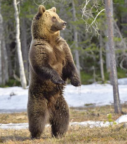 大脚怪也许就是熊.jpg