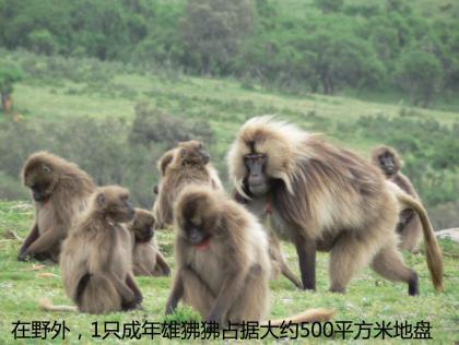 在野外,1只成年雄狒狒占据大约500平方米地盘.jpg