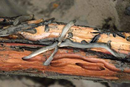 2on-wood-shipworms_0.jpg