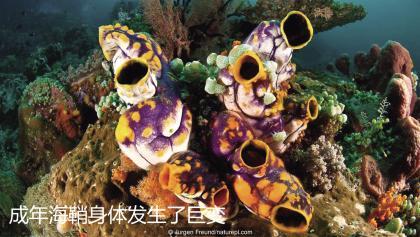 成年海鞘身体发生了巨变.jpg
