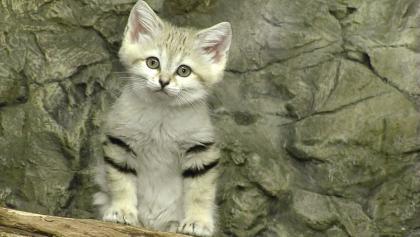 沙丘猫.jpg