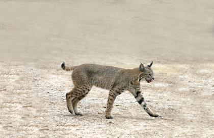 短尾猫.jpg