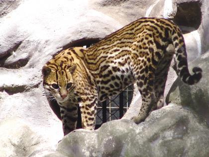 虎猫.JPG