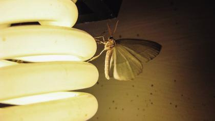 城市中的飞蛾为适应光污染,不再被光所诱惑。.jpg