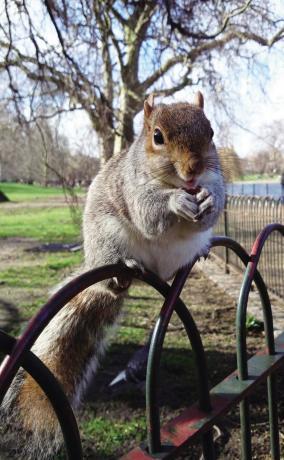灰松鼠适应性强的饮食习惯是它能适应城市生活的重要因素。.jpg