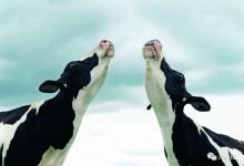 200年后, 奶牛称霸大陆