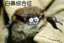小长鼻蝙蝠,拯救成功!