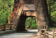 树木中的大块头 ——北美红杉